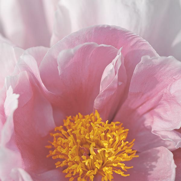PEONY FACE CARE - Pivoine Sublime - l'Occitane